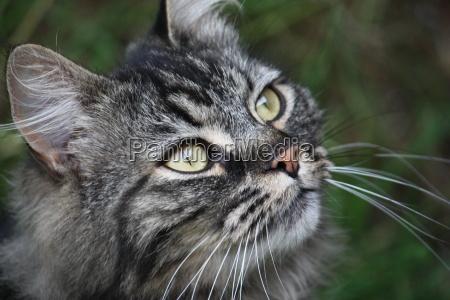 sehr niedlicher langhaariger tabby haustier pussycat