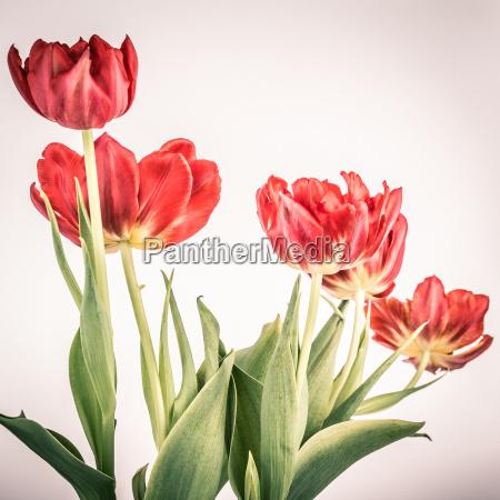 rote tulpen im vintage