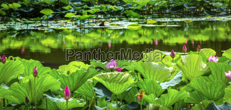 reflexion reflektion spiegelbild porzellan lotus chinese