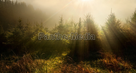 fir trees in a dreamy light