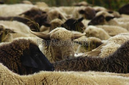 sheep sheep farm animals farm animal