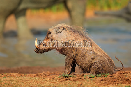 schlamm bedeckt warzenschwein