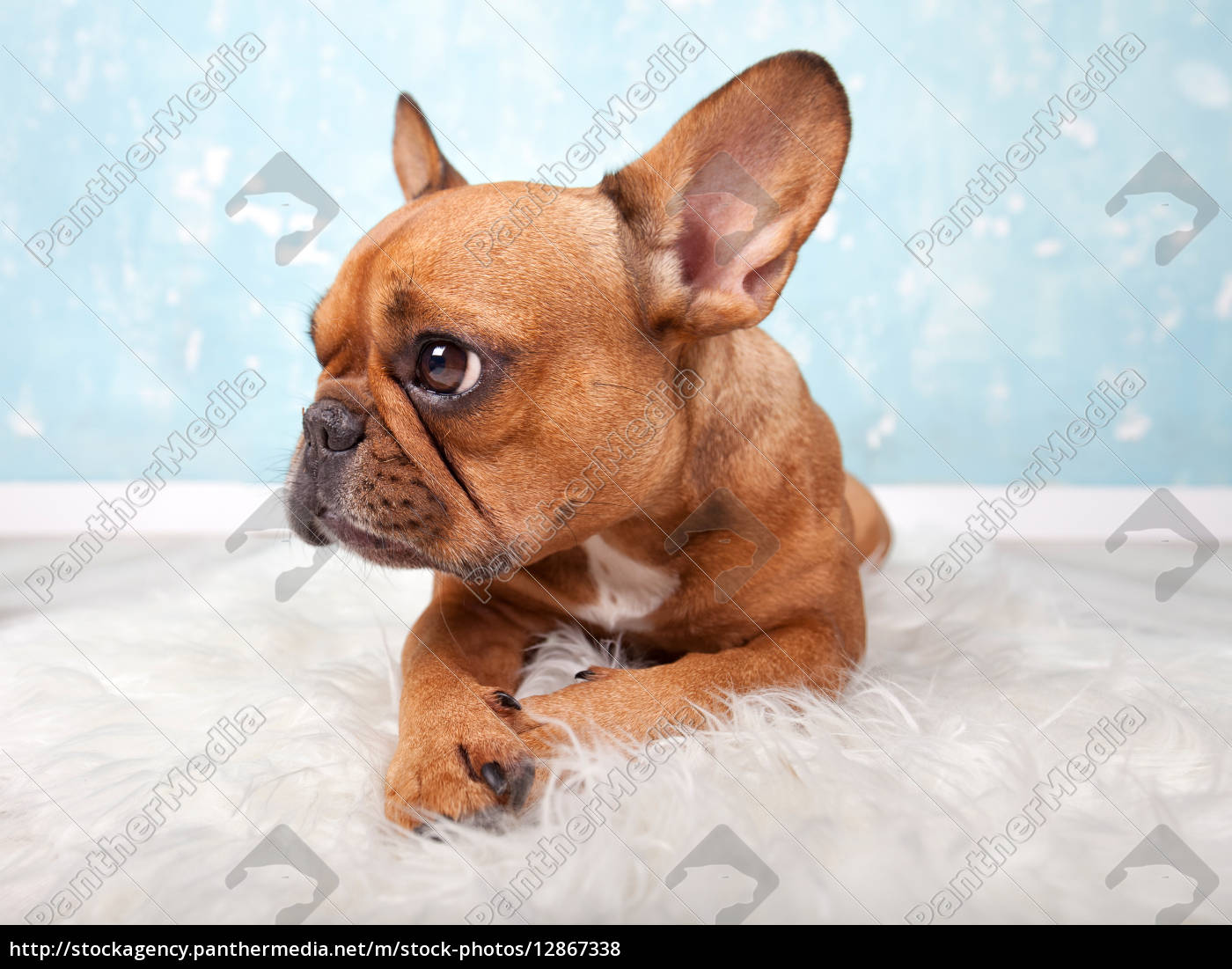 kleine franz sische bulldogge stock photo 12867338 bildagentur panthermedia. Black Bedroom Furniture Sets. Home Design Ideas