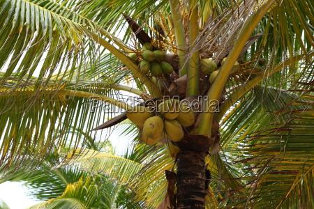 palm tree palm branch coco mexico