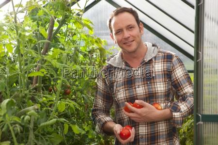 smiling man picking ripe tomatoes in