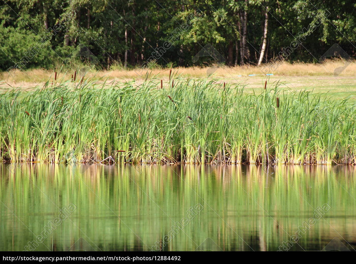 reed, reflection, in, lake, with, field - 12884492
