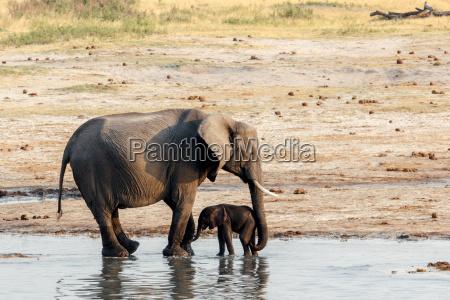 afrikanische elefanten mit baby elefanten trinken