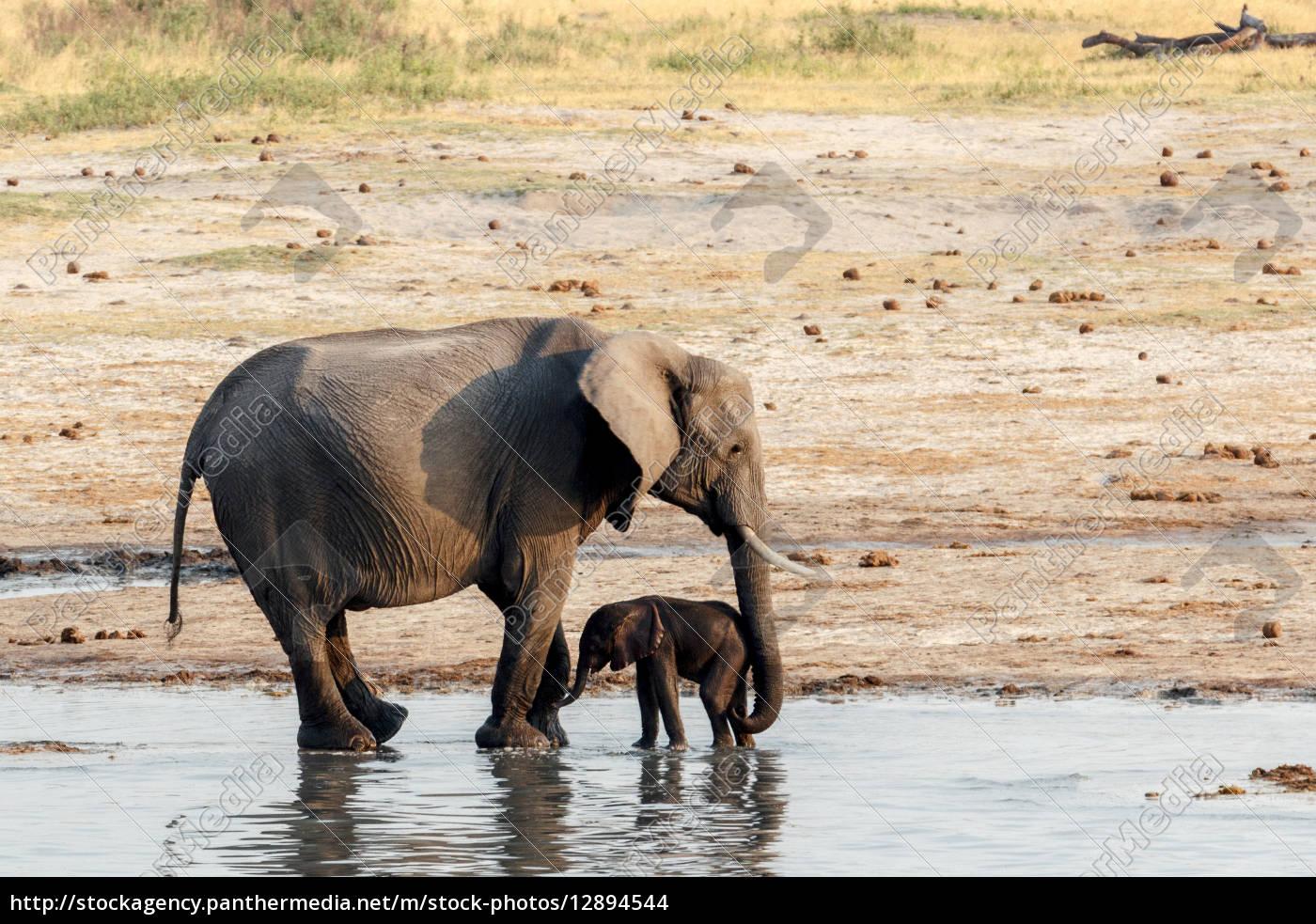 afrikanische elefanten mit baby elefanten trinken am. Black Bedroom Furniture Sets. Home Design Ideas