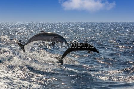 springende delfine im atlantic vor teneriffa