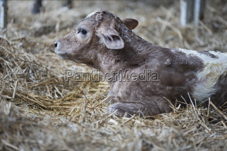 newborn fresian kalb auf dem bauernhof