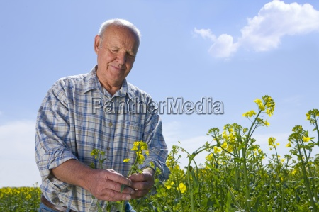 farmer, examining, rape, seed, plants - 12912150