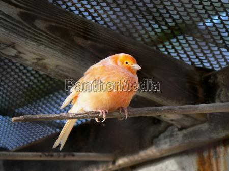 kanarienvogel, (serinus, canaria, forma, domestica), orange - 12912654