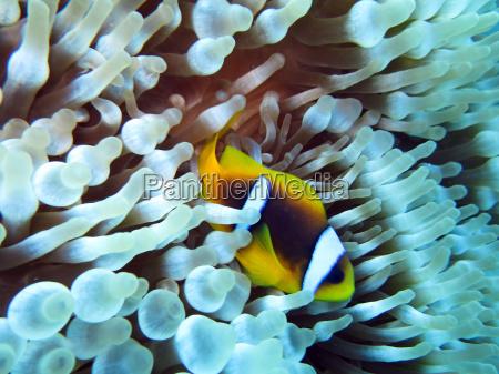 anemonenfisch an blasenanemone