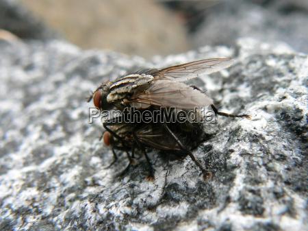 kopulierende fleischfliegen sarcophaga carnaria