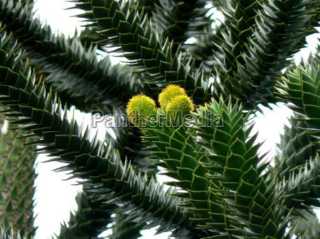 junge araukarientriebe araucaria araucana