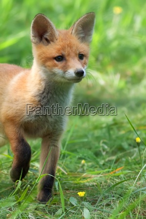 fox in the wild in a