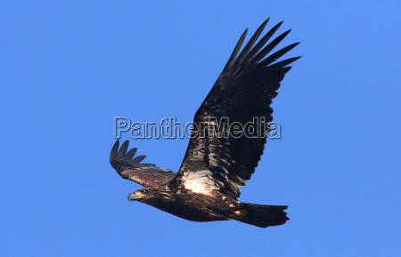 vogel wild wildlife adler falken natur