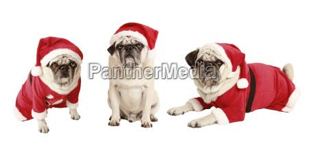 drei moepse als weihnachtsmann