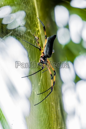 palmspinne