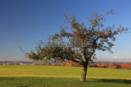 apple tree in sunshine
