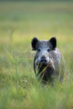 wildschwein in einer lichtung in freier