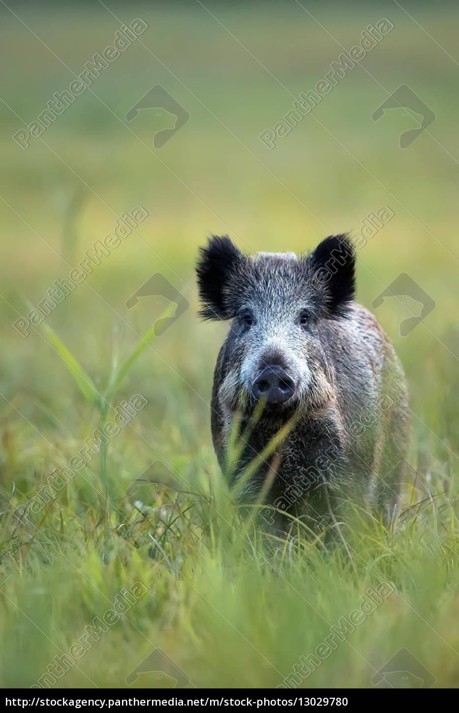 wildschwein, in, einer, lichtung, in, freier, wildbahn - 13029780