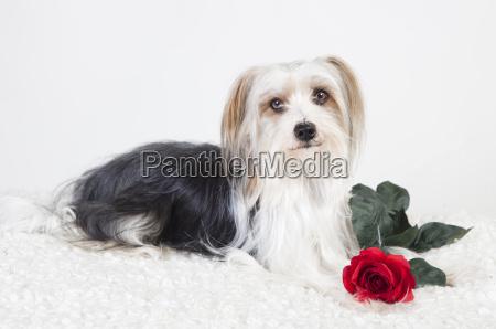 kleiner hund mit rose
