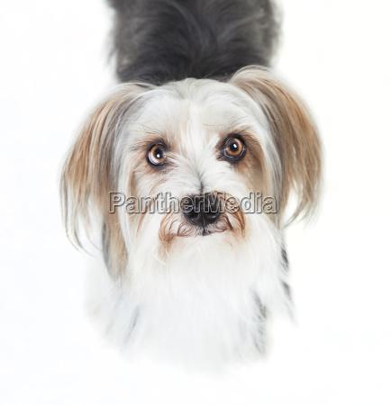 yorkshire mixed breed