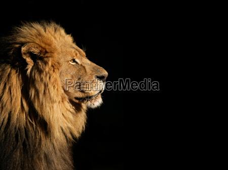 maennlicher afrikanischer loewe auf schwarzem