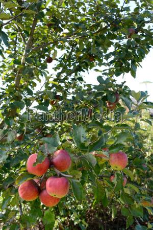 reife aepfel am apfelbaum