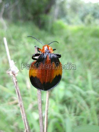 orange schwarzer kaefer auf grashalm in