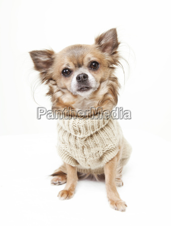 chihuahua mit wollpullover