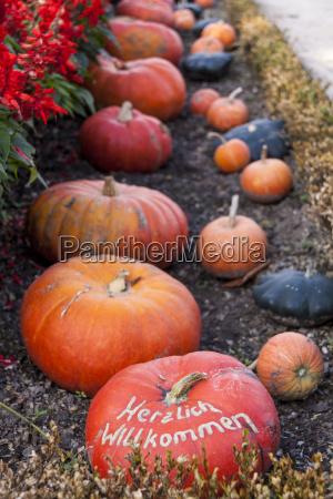 cucurbita maxima cucurbita pumpkin kuerbis