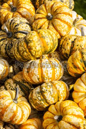 sweet lightning microwave cucurbita pumpkin kuerbis