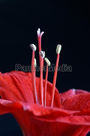 red amaryllis knight star