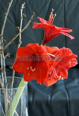 red amaryllis amaryllis