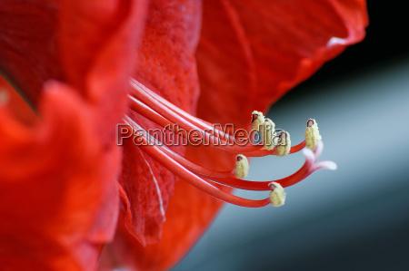 rote amaryllis ritterstern