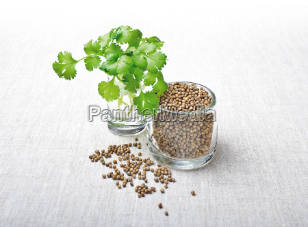 coriander leaves and seeds cilantro
