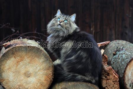 norwegian forest cat on tree trunks