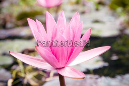 nahaufnahme rosa lotosblume