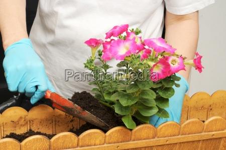 balkonbepflanzung planting petunias