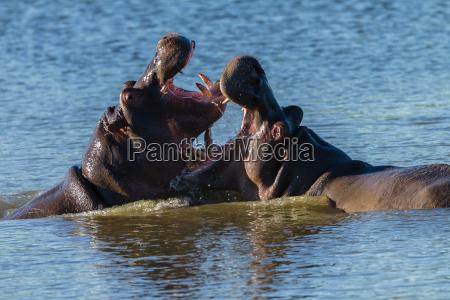 hippos kampf um wildtiere