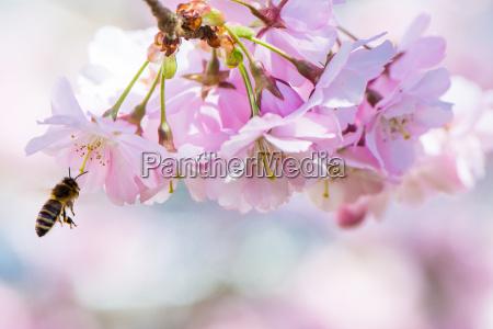 fliegen biene und rosa kirschblueten