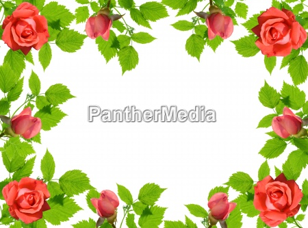 green leaflets and roses