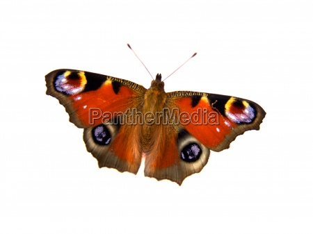 butterfly on white background with room