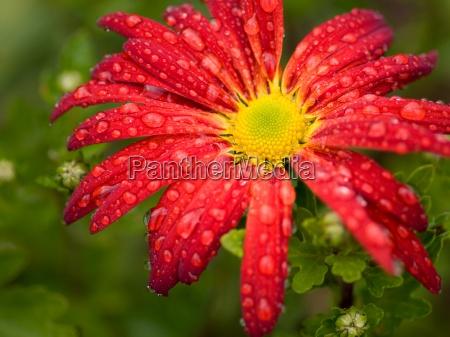 red flower chrysanthemum with rain drops