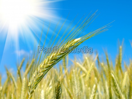 wheat harvest on blue sky with