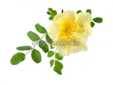 flowers of dog rose isolated on