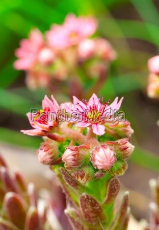flower of houseleek sempervivum decorative garden