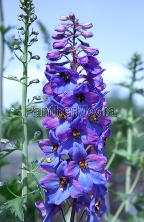 delphinium flower in the botanical garden